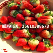 红颜草莓苗批发、红颜草莓苗一亩地栽多少棵图片