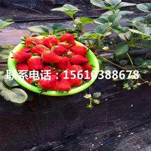 菠萝莓草莓苗报价、菠萝莓草莓苗图片
