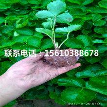 2019年红宝石草莓苗品种