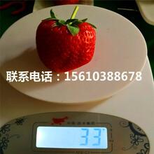 贵美人草莓苗管理技术、贵美人草莓苗批发单价图片