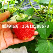 京御香草莓苗批发、京御香草莓苗供应价格