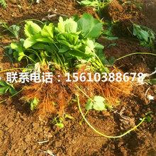 哪里供应明日香珍珠草莓苗、明日香珍珠草莓苗多少钱一棵