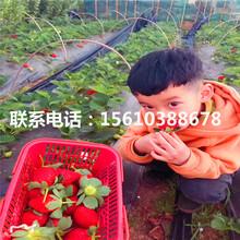 哪里批发全明星草莓苗、全明星草莓苗什么价格图片