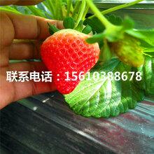 哪里供应宁玉草莓苗、宁玉草莓苗销售价格