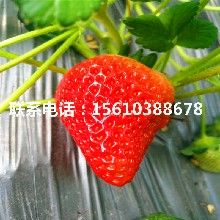 2019年隋珠草莓苗多少钱一株图片
