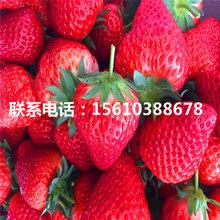 新品种鲁旺草莓苗批发基地