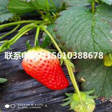 草莓王子草莓苗产地在哪里、草莓王子草莓苗什么价格