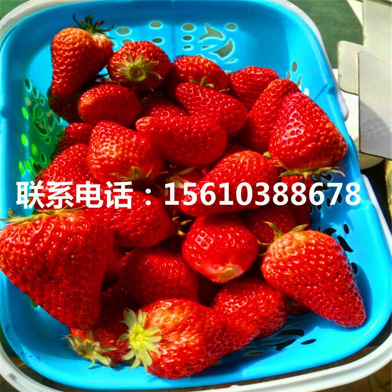 附近哪里有温塔那草莓苗、温塔那草莓苗出售价钱