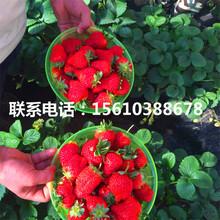 希利亚草莓苗产地在哪里、希利亚草莓苗基地图片