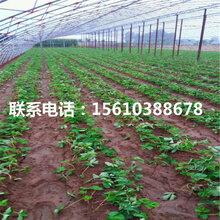 山东叙利亚草莓苗报价