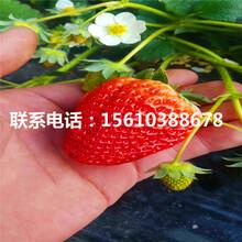 新品种四季美德莱特草莓苗供应批发图片