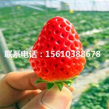 新品种雪里香草莓苗价位