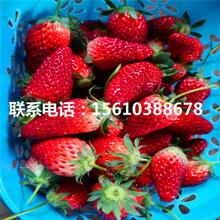 牛奶草莓苗价格多少、牛奶草莓苗批发厂家