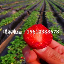 新品种麦特莱草莓苗、麦特莱草莓苗哪里价格便宜