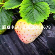 佐贺清香草莓苗新品种、佐贺清香草莓苗多少钱一棵