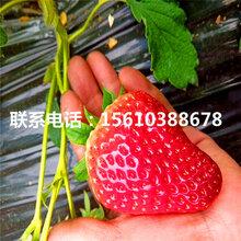 哪里批发奥巴草莓苗、奥巴草莓苗批发什么价格