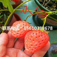 哪里有安娜草莓苗、安娜草莓苗哪里价格便宜