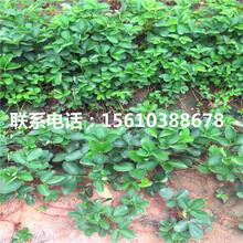 山东京桃香草莓苗出售单价图片