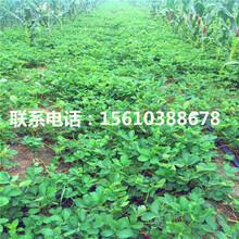 哪里有卖草莓种苗、草莓种苗销售价格图片