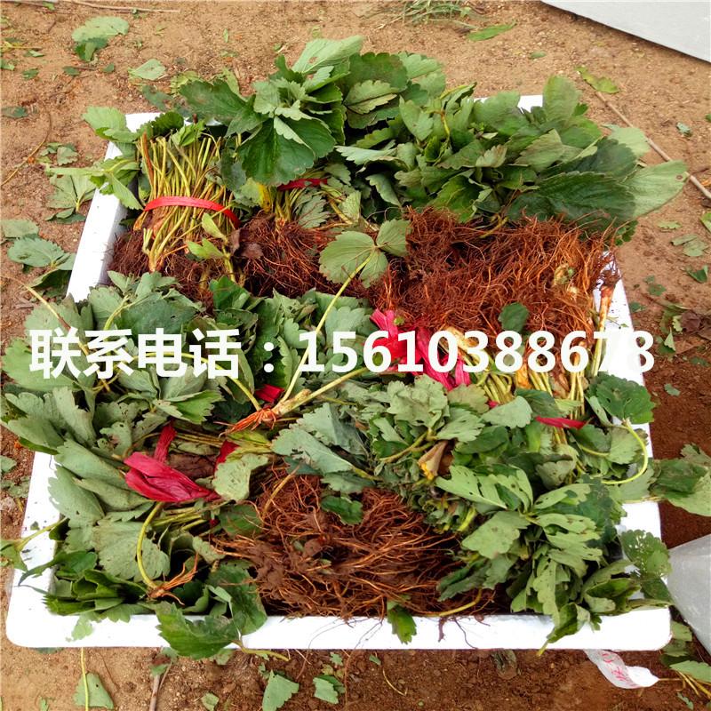 哪里有卖红脸颊草莓苗、红脸颊草莓苗销售价格