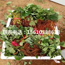 附近哪里有美香莎草莓苗、美香莎草莓苗批发什么价格图片