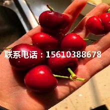 矮化大樱桃苗、大樱桃苗多少钱一棵