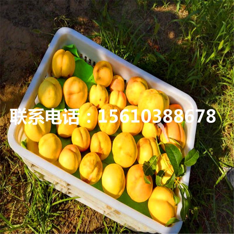 仓方早生桃树苗哪里出售、仓方早生桃树苗批发多少钱