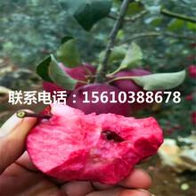 短枝苹果苗简介、短枝苹果苗出售基地图片