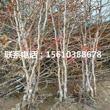 金丝大枣树苗出售价格是多少、金丝大枣树苗出售多少钱图片