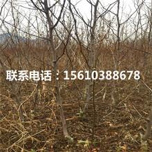 梨枣树苗零售价格、梨枣树苗销售价格图片