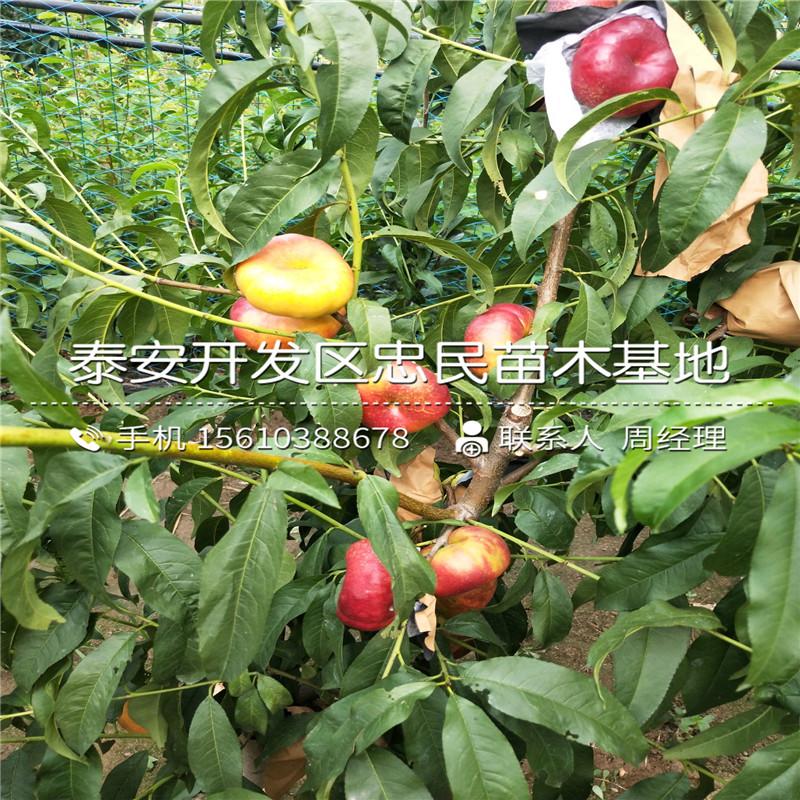 新品种中油20号桃树苗、中油20号桃树苗价格及基地