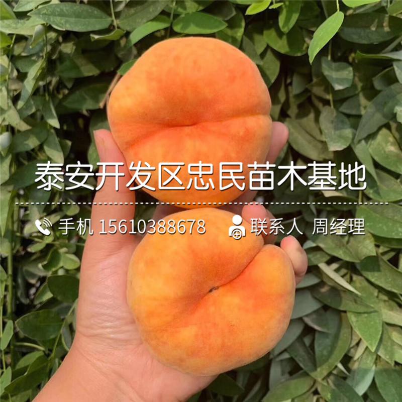 出售大红桃树苗、大红桃树苗基地