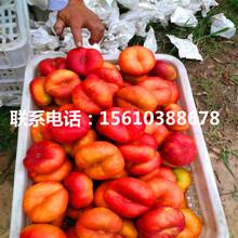 秋甜桃树苗出售图片