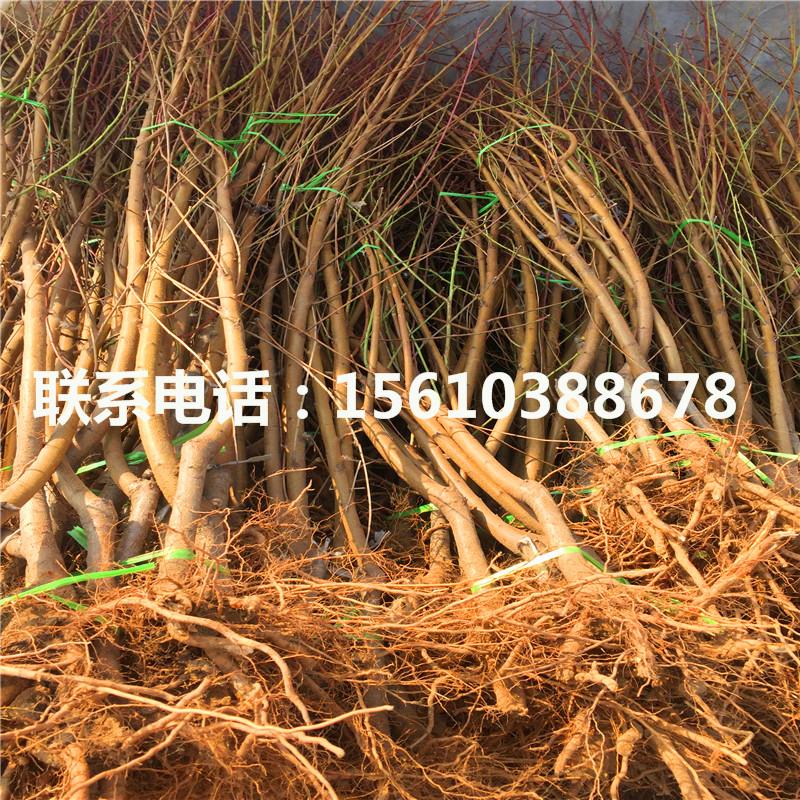 原生桃树苗繁育基地
