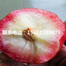 锦春桃树苗价格图片