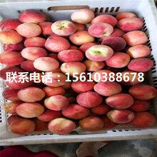 新品种中蟠13号桃树苗、中蟠13号桃树苗价格及基地图片