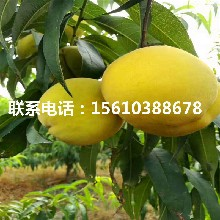 新品種夏麗桃樹苗、夏麗桃樹苗基地價格圖片