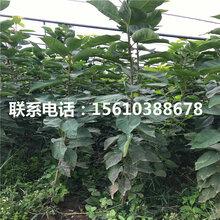 4公分砂蜜豆樱桃苗报价图片
