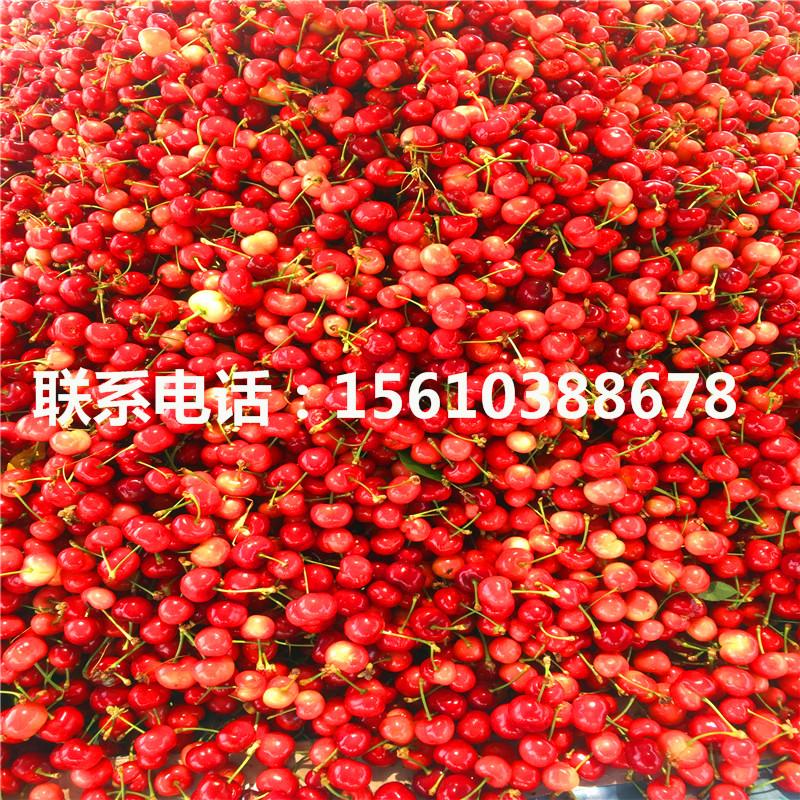 6幸运棋牌游戏分桑德拉玫瑰樱桃苗销售