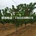 5公分矮化樱桃苗新品种