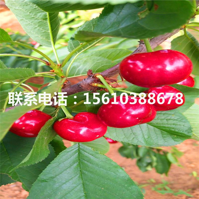 5公分大櫻桃樹苗單價及價格