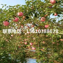 五公分烟富3号苹果苗批发图片