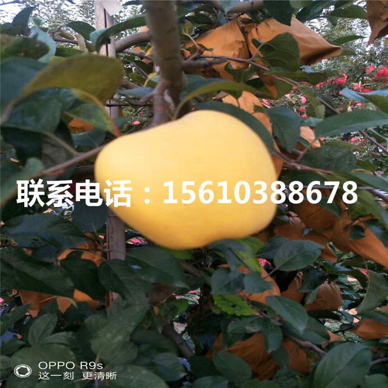 【烟富8号苹果苗报价、烟富8号苹果苗品种介绍】- 黄页88网
