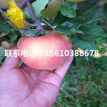 五公分烟富7号苹果苗售价及批发图片