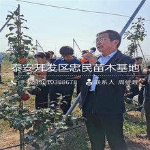 柱狀(zhuang)隻果苗產地及價(jia)格、柱狀(zhuang)隻果苗品種介紹圖片