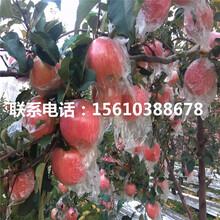 嫁接红心苹果苗产地及价格图片