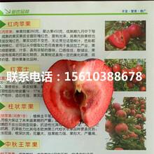 5公分众成一号苹果苗品种介绍图片