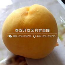 早春王桃樹苗品種介紹、早春王桃樹苗價格是多少圖片