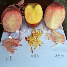 沂蒙霜红桃树苗哪里有卖、2019年沂蒙霜红桃树苗价格图片