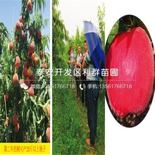 新品種早油蟠蟠桃樹苗出售圖片